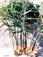 tanaman obat tradisional dan khasiatnya