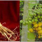 Khasiat Ginseng dan Pinang
