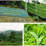 Mengenal Sejarah Teh di Indonesia