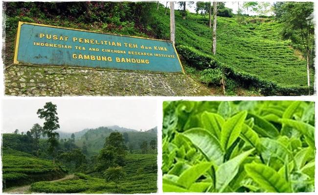 Mengenal-sejarah-teh-di-Indonesia