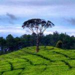 Wisata perkebunan teh sukawana